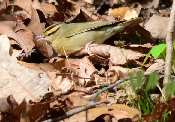 Worm Eating Warbler