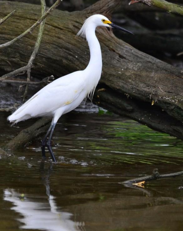 Snowy Egret 26