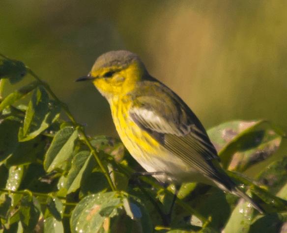 Blackburnian Warbler 12