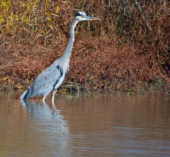 Great Blue Heron 144