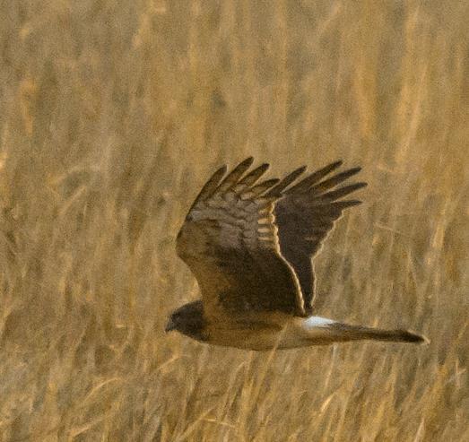 Northern Harrier 22