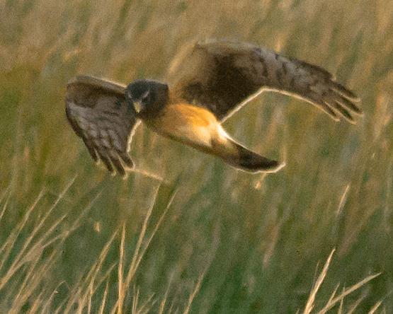Northern Harrier 23