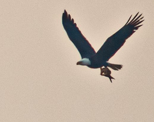 Bald Eagle 222