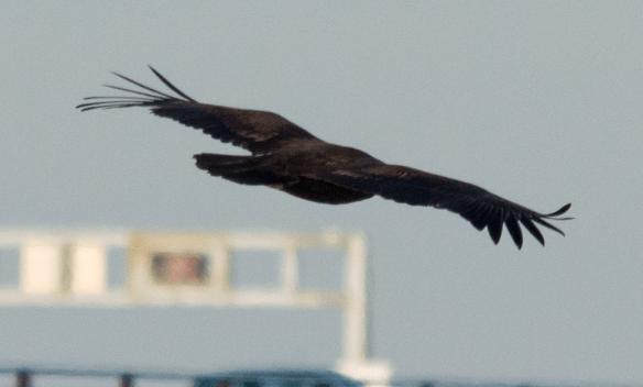Bald Eagle 227