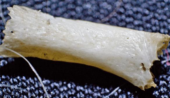 Mouse Bone