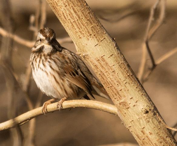 Song Sparrow 61