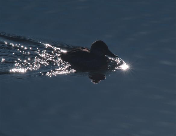 Ruddy Duck 43