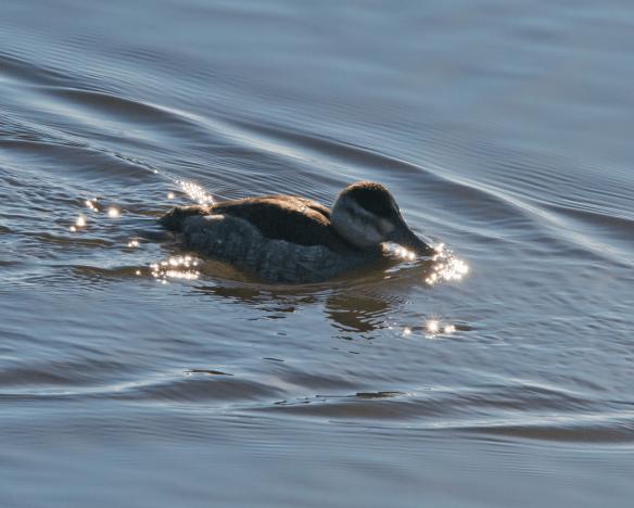 Ruddy Duck 60