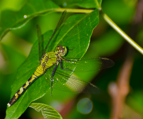 Dragonfly 51
