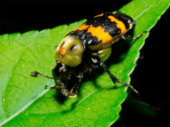 Beetle 21