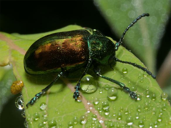Beetle 25