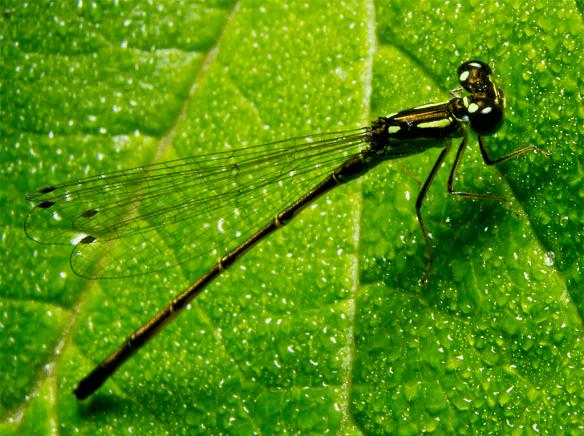 Damsel Fly 16