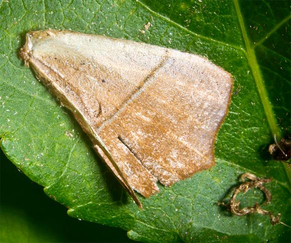 Moth 53