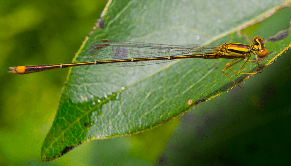 Damsel Fly 28