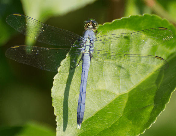 Dragonfly 132