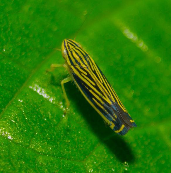 Leafhopper 18