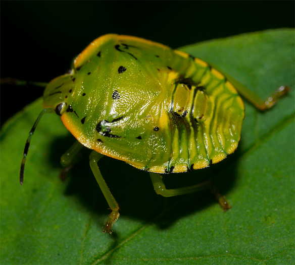 Stink Bug Nymph 1