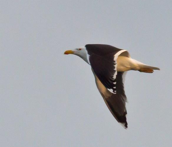 Black Backed Seagull