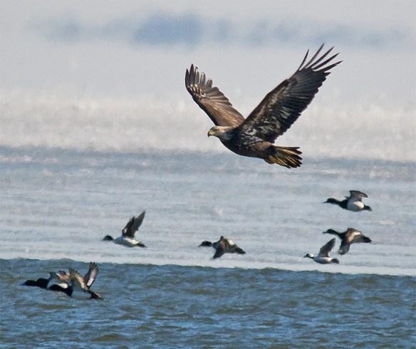 Bald Eagle 382