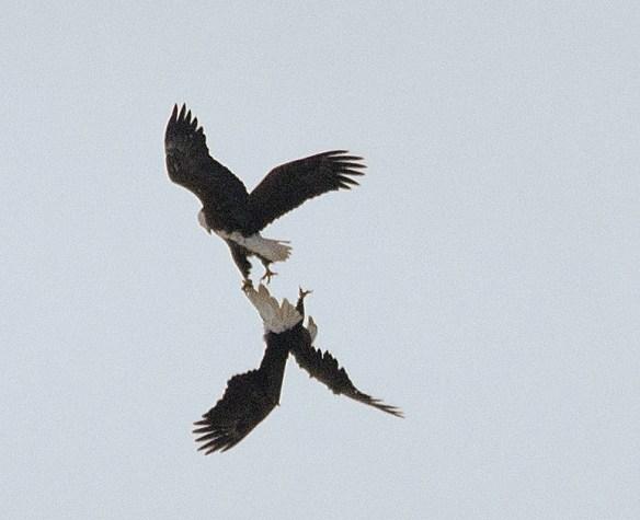 Bald Eagle 387