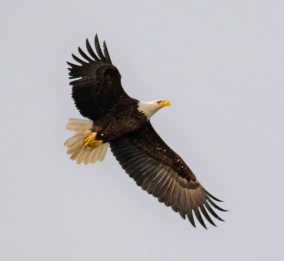 Bald Eagle 389
