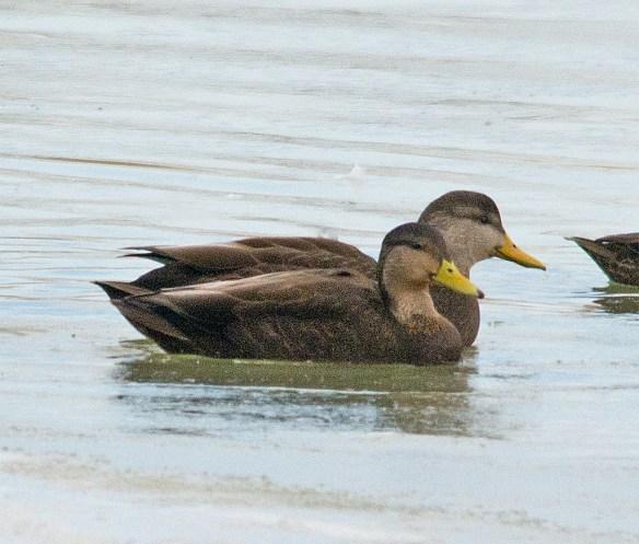 Black Duck 100