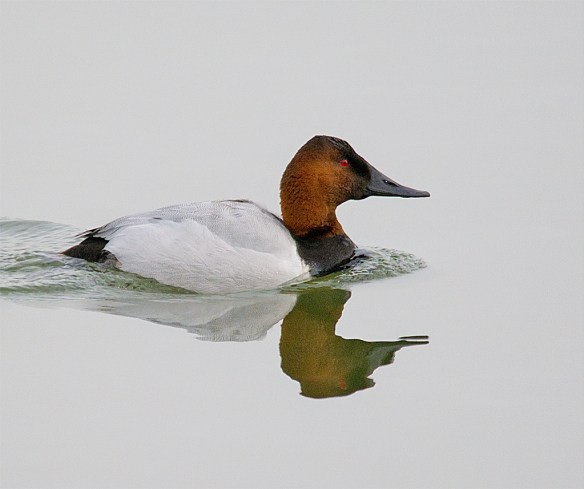 Canvasback 113