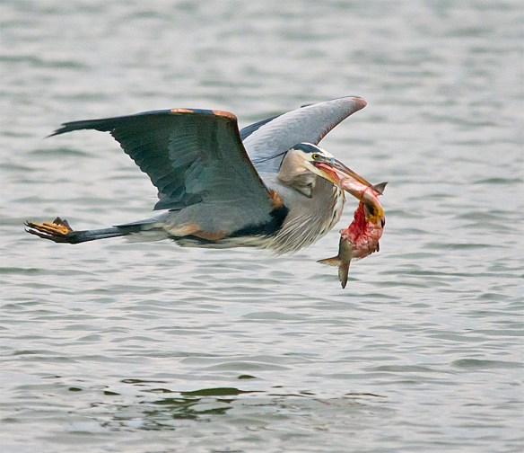 Great Blue Heron 258