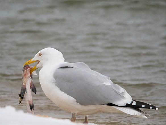 Herring Gull 12
