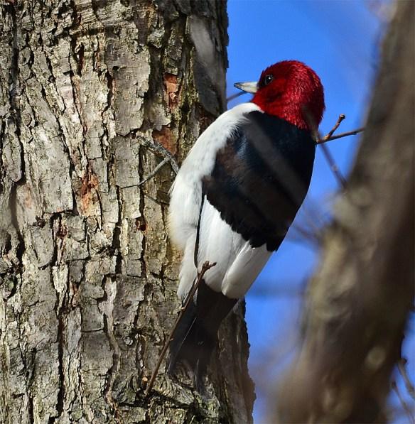 Red Headed Woodpecker 13