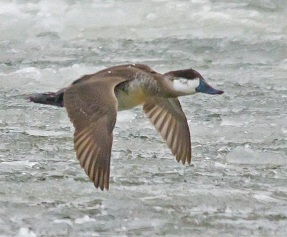 Ruddy Duck 85