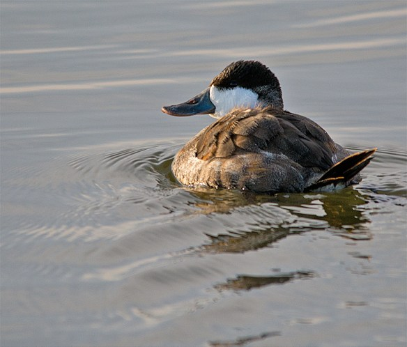 Ruddy Duck 91