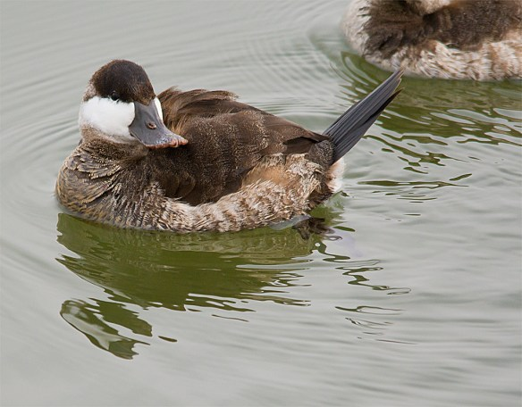 Ruddy Duck 93