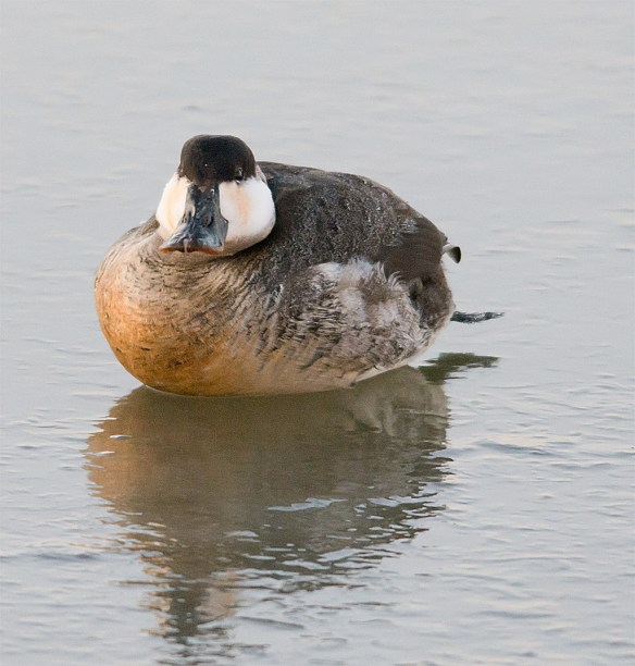 Ruddy Duck 95