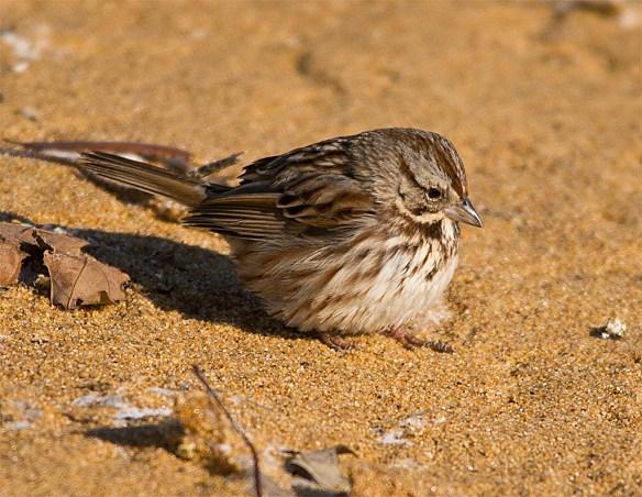 Song Sparrow 125