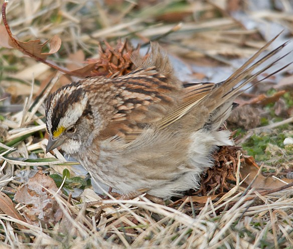 White Throated Sparrow 200