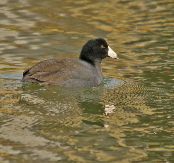 American Coot 100