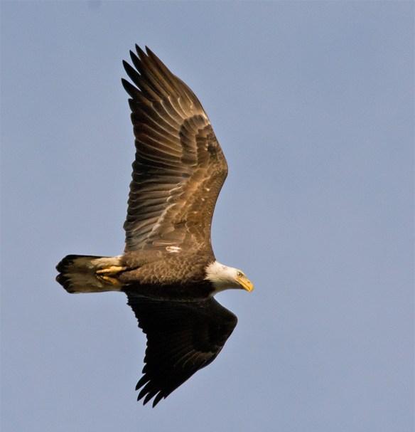 Bald Eagle 403