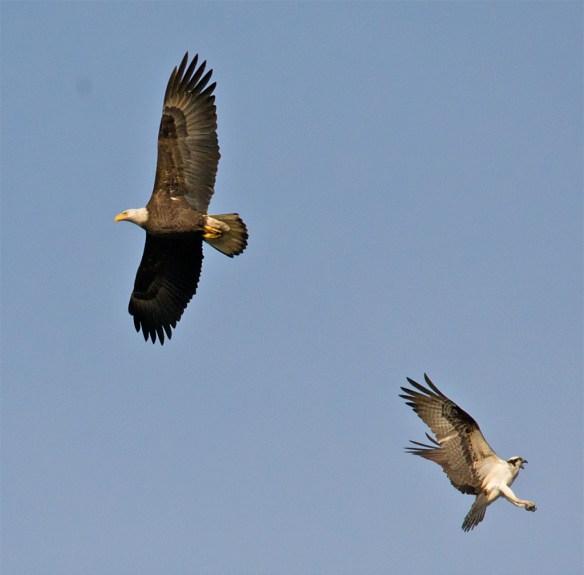 Bald Eagle 404