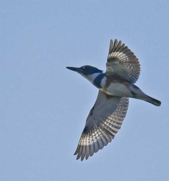 Belted Kingfisher 109