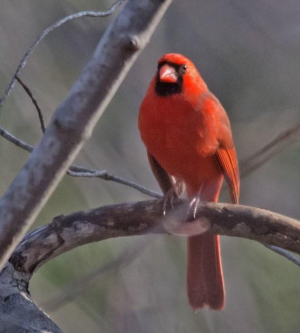 Cardinal 176
