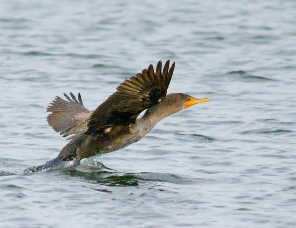 Double Crested Cormorant 87