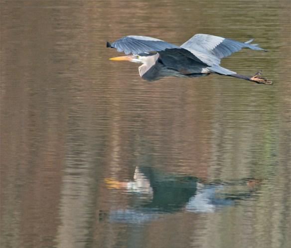 Great Blue Heron 272