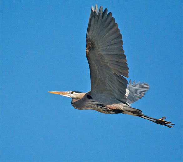 Great Blue Heron 279