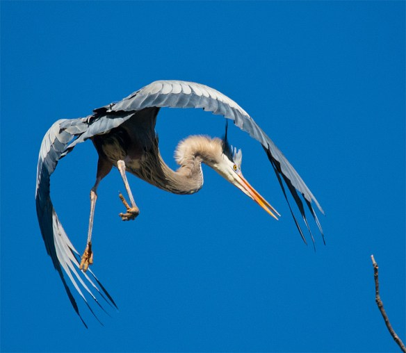 Great Blue Heron 282