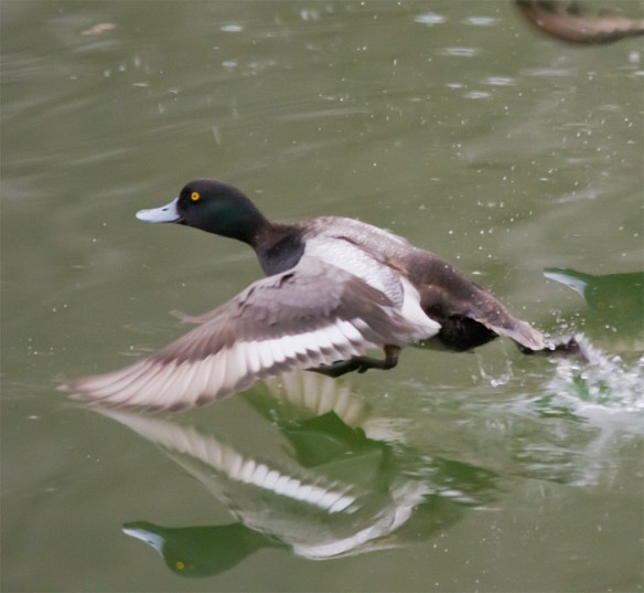 Greater Scaup 102
