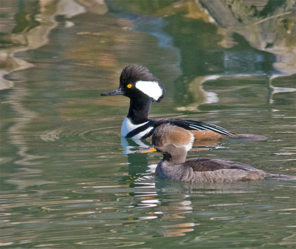 Hooded Merganser 136