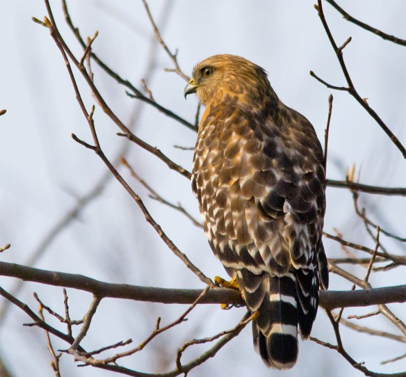 Red  Shouldered Hawk 100