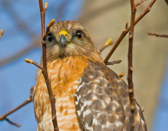 Red  Shouldered Hawk 101