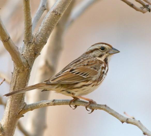 Song Sparrow 130
